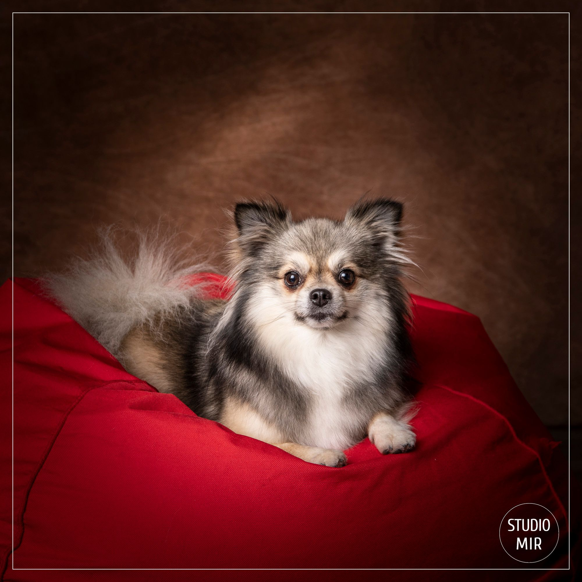 Photographe chien spitz dans le Val de Marne