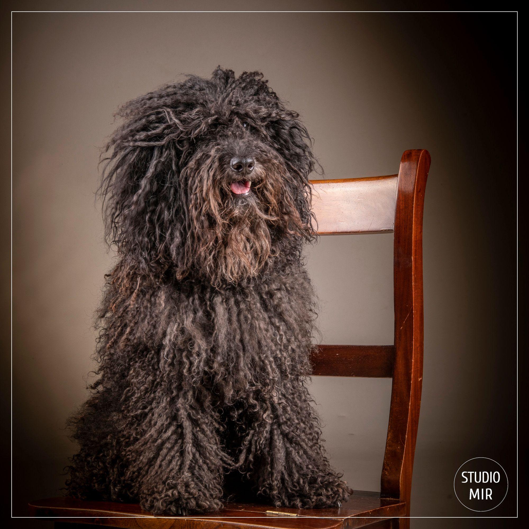 Séance photo chien barbet chez un photographe dans le Val de Marne