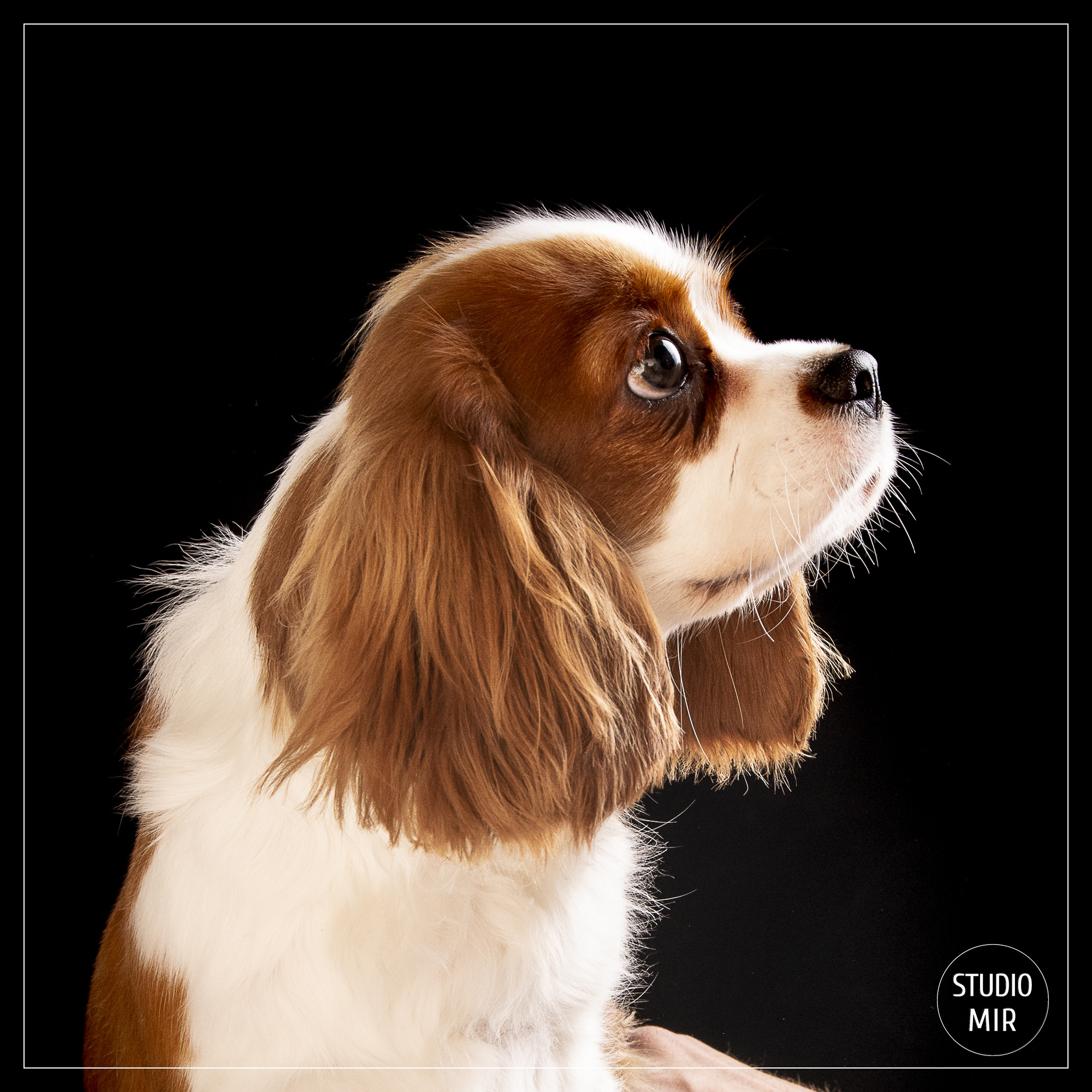 Photographe de chien dans le Val de Marne : shooting photo cavaliers king charles