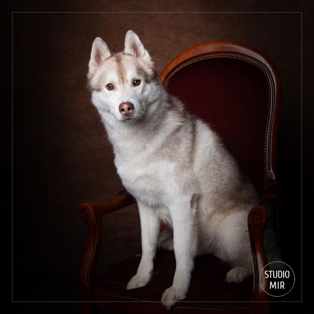 Photographe animalier près de Paris : shooting husky de Sibérie