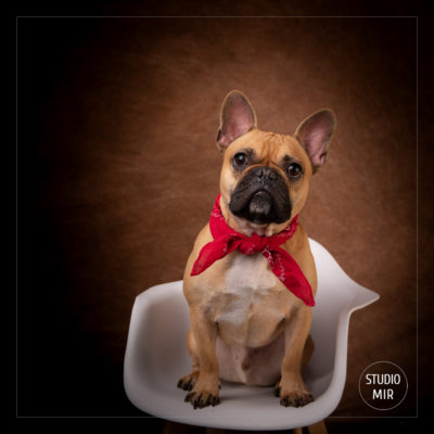 Photographe canin en région parisienne : Shooting photo bouledogue français