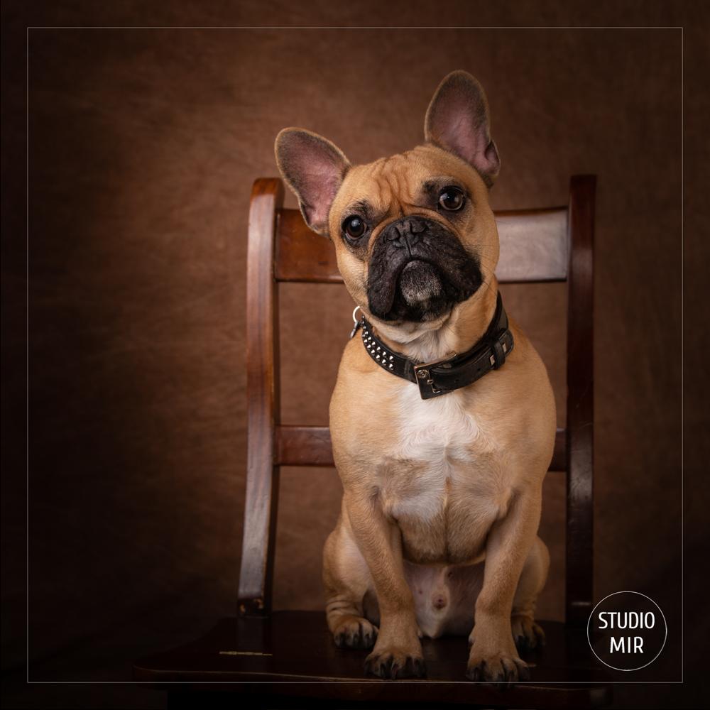 Photographe canin en région parisienne : Shooting photo bouledogue français