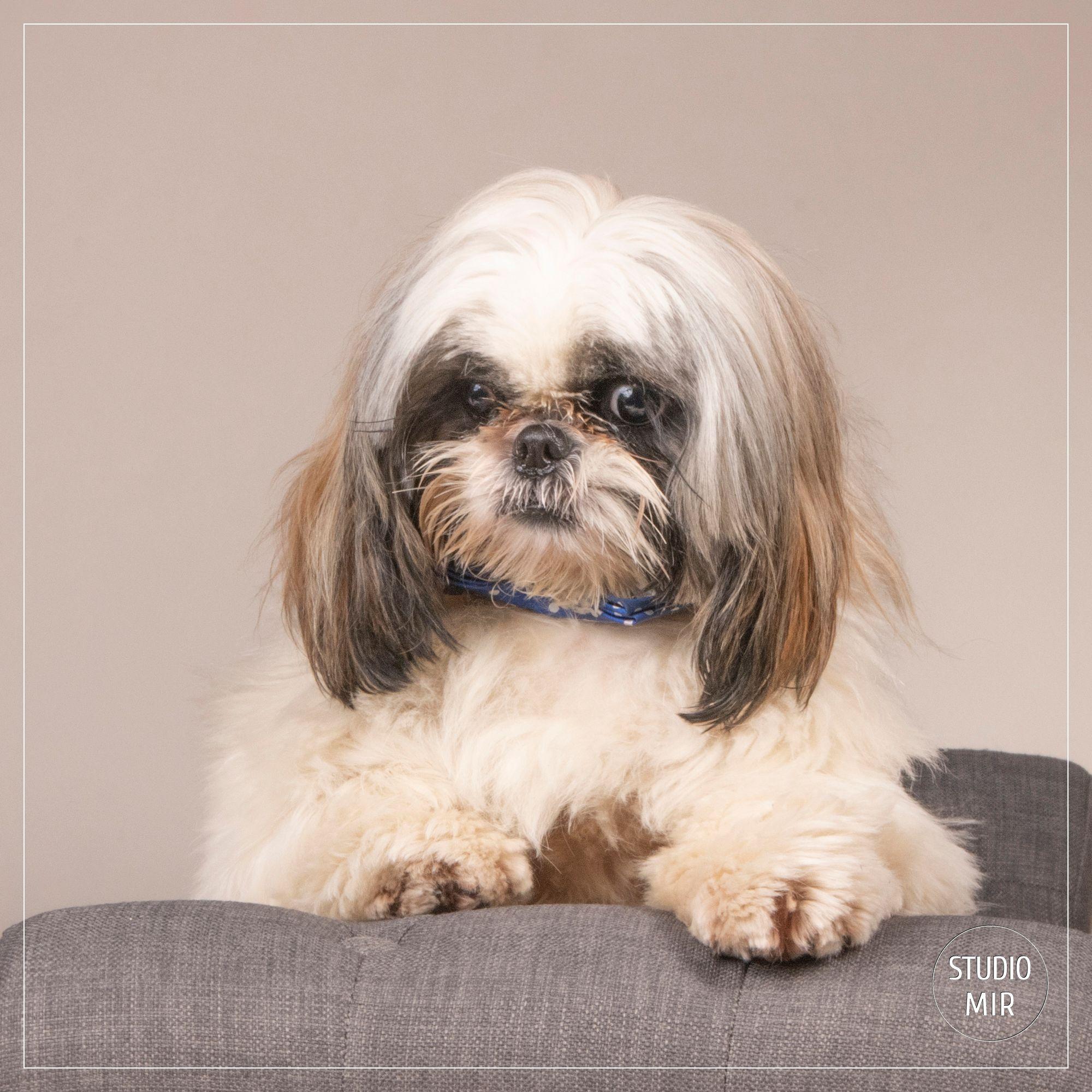 Photographe de chiens dans le Val de Marne : shooting Shi-tzu en studio