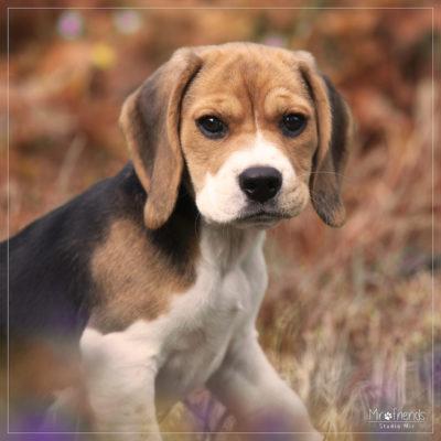 Photographe canin dans le 94 – Séance photo Beagle en extérieur